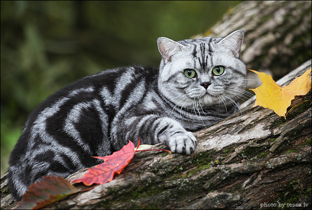 British shorthair black silver tabby blotched