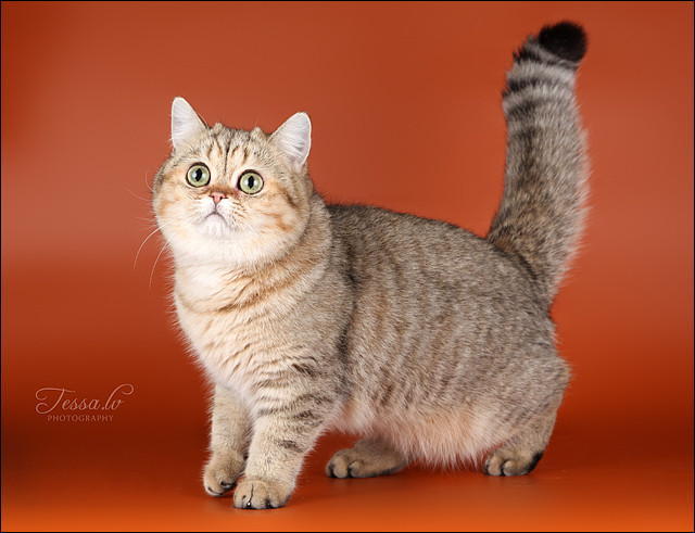 British Shorthair Golden Gemma of Britain Yard*LV Black golden tabby spotted BRI ny 24