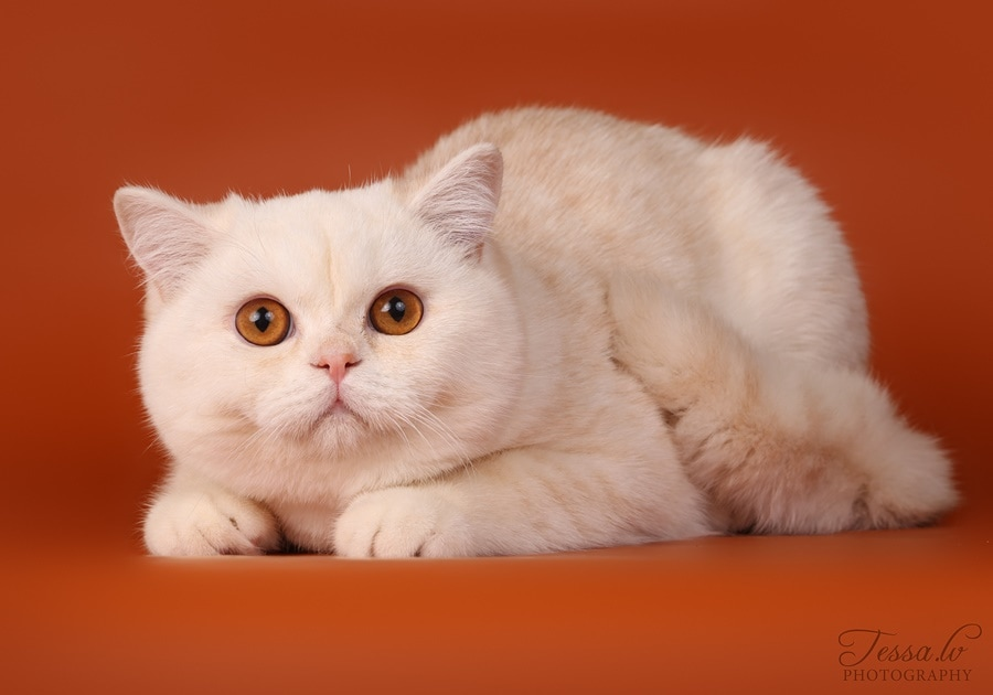 British Shorthair Cameo Valerius no Demetra Red silver shaded BRI ds 11