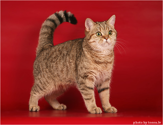 British Shorthair EST*Eva British de Luxe Black golden tabby spotted BRI ny 24
