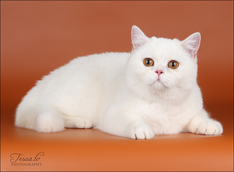 British Shorthair Cameo Faustina no Demetra Red silver shell BRI ds 12