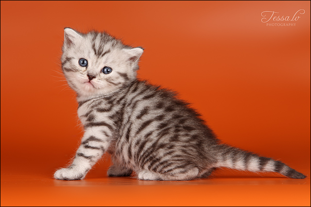 British Shorthair Back Silver Tabby Spotted