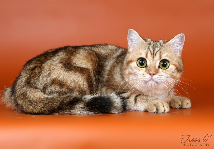 British Shorthair Golden Leontina no Demetra Black golden tabby blotched BRI ny 22