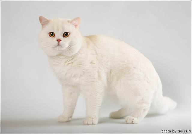 British Shorthair Red Silver Shell