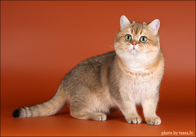 British Shorthair Black Golden Tabby Ticked