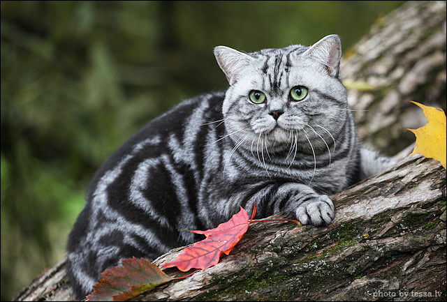 British Shorthair Back Silver Tabby Blotched