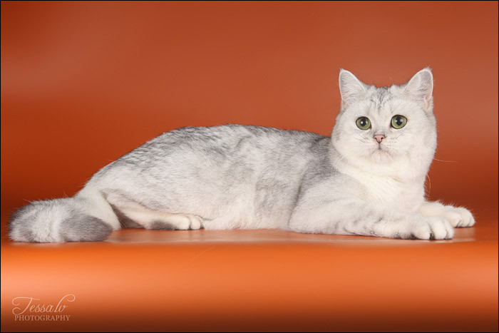British Shorthair Silver Ginevra no Demetra Black silver tortie shaded BRI fs 11