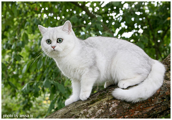 British Shorthair Back Silver Shaded