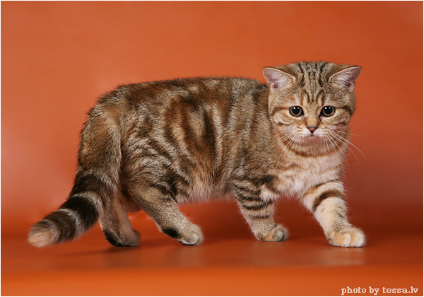 British Shorthair Black Golden Tortie Blotched