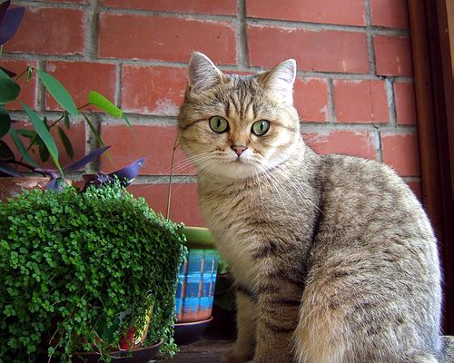 British Shorthair Queen Golden Elektra no Demetra Golden shaded BRI ny 11