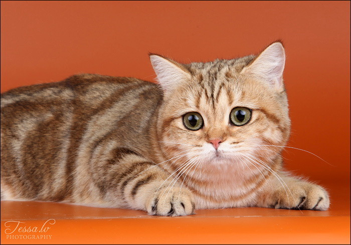 British Shorthair Golden Quirina no Demetra Black golden tabby blotched BRI ny 22