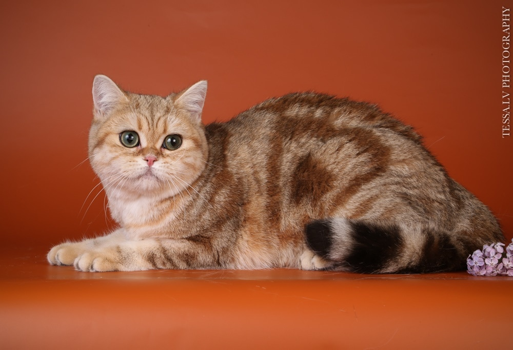 British Shorthair Golden Aella no Demetra Black golden tabby blotched BRI ny 22