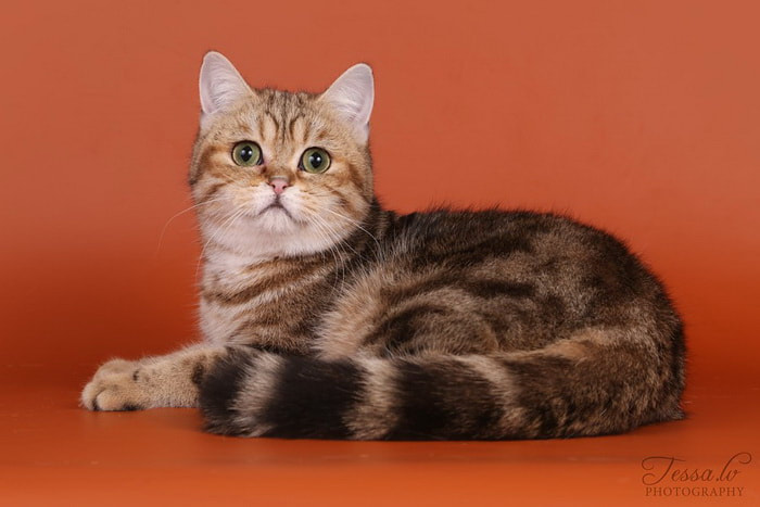 British Shorthair Golden Kirsikka no Demetra Black golden tabby blotched BRI ny 22