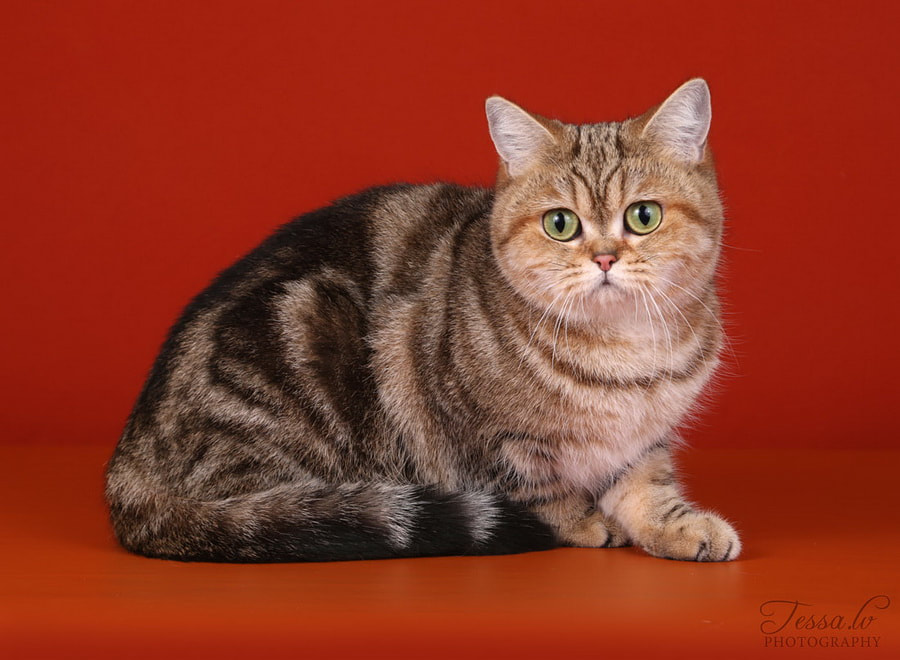 British Shorthair Treasure de Monte-Cristo Black golden tabby blotched BRI ny 22