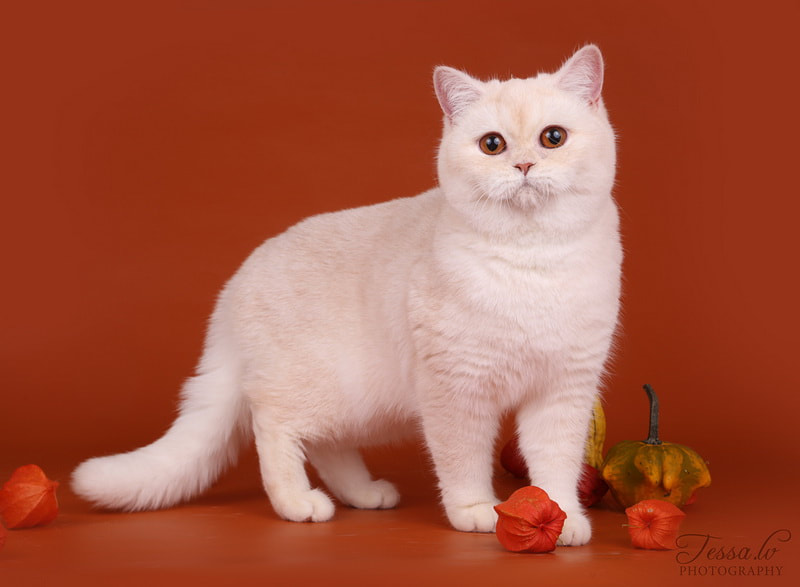 British Shorthair Cameo Zenaida no Demetra Red silver shaded BRI ds 11